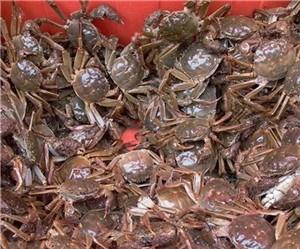 上海优质扣蟹苗 上海优质美味扣蟹苗新鲜 崇明顾建周供
