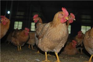上海散养童子鸡专卖 金山区散养童子鸡价格优惠 飞皇供