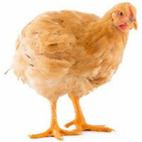 上海散养月子鸡专卖 普陀区散养月子鸡热卖 飞皇供