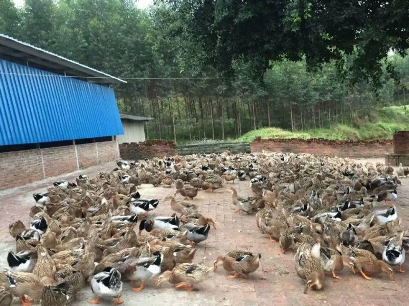 今日福建鹅苗价格,福建鹅苗饲养,福建鹅苗养殖国鸿供