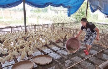 鸭子养殖大棚 鸭子养殖技术加盟 贺伟供