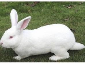上海新西兰兔血清采集/新西兰兔血清采集公司/辉煌供