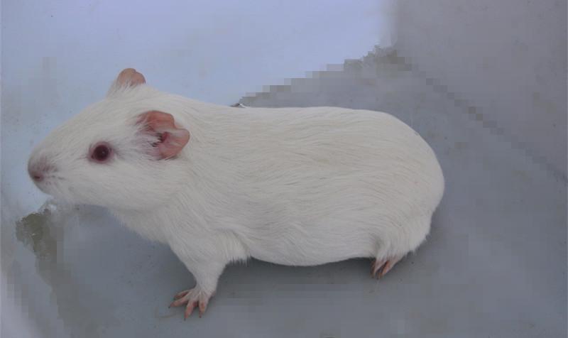 实验用豚鼠血清采集/上海技术最好的血清采集兽医/辉煌供