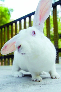 上海日本大耳兔采购/日本大耳兔生产厂家/辉煌供