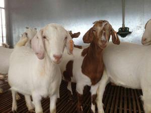 上海波尔山羊零售/波尔山羊零售价格便宜/辉煌供
