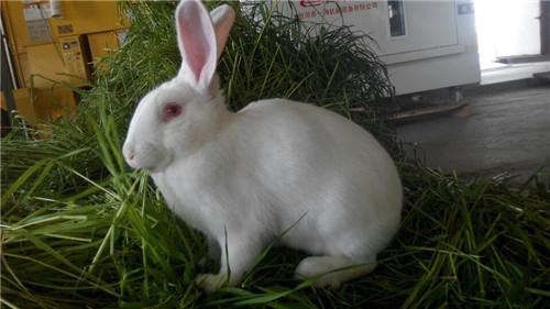 上海实验兔/日本大耳兔直销/辉煌供