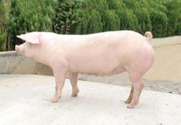 长白母猪价格 长白母猪批发价格 新村庄供